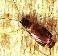 Brown Banded Cockroach Pest