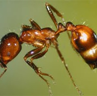 Fire Ant Pest