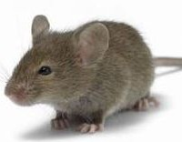 House Mice Pest