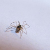 Spider Pests