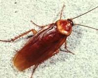 American Cockroach Pest