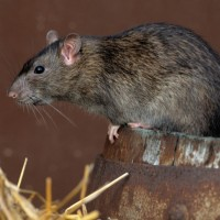 Norway Rat Pest