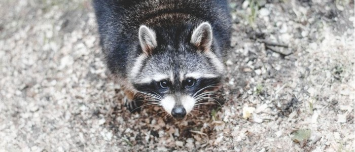 5 Ways to Get Rid of Raccoons
