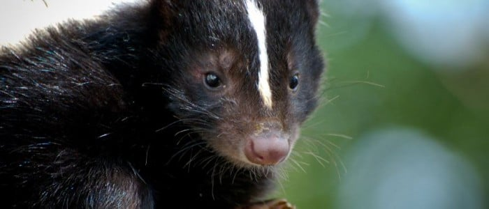 How to Get Rid of Skunks in or Under Your Shed