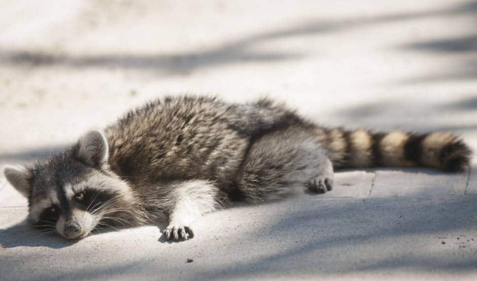 Spot a Sick Raccoon? Stay Away and Call Animal Control ... Raccoon With Rabies