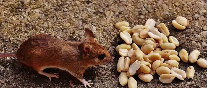 Mice in the House – How Did That Happen!