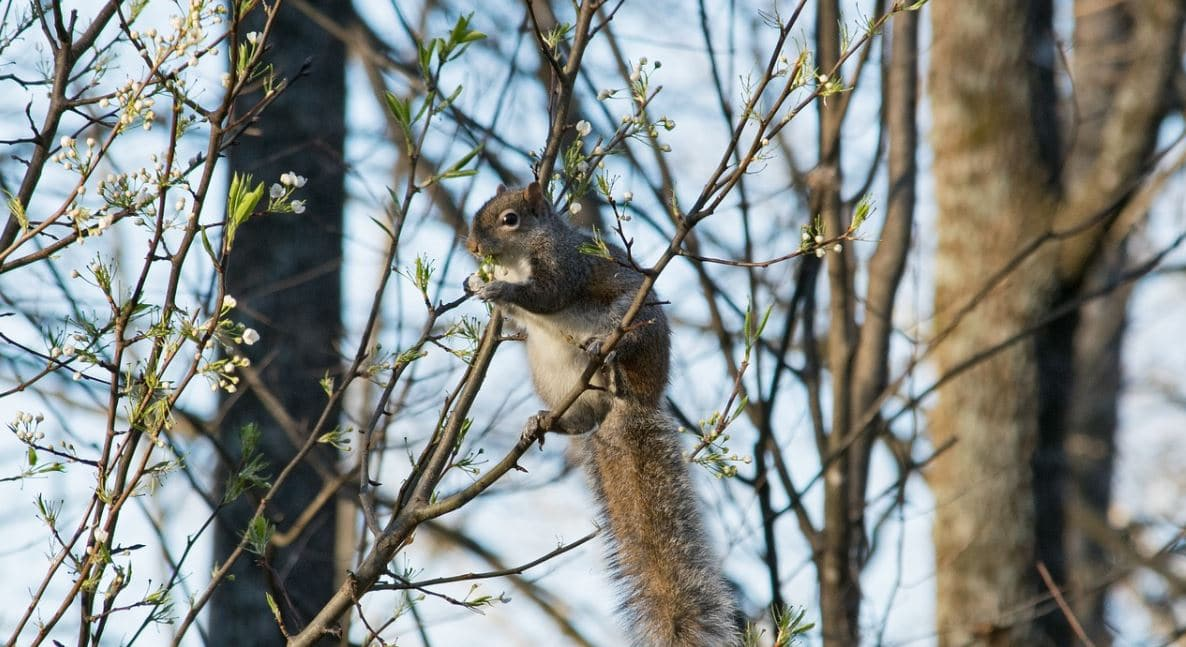 Squirrel Baby Season Means your Attic is a Target - Halton Wildlife ...