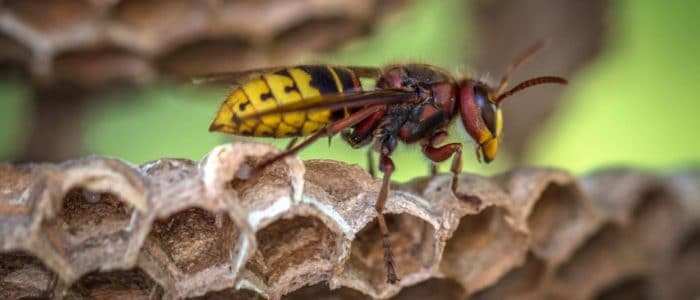 How many wasp bites are considered dangerous?