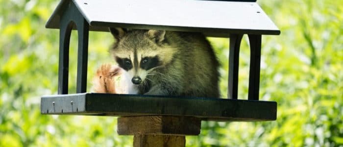 How Raccoons Can Damage Your Property