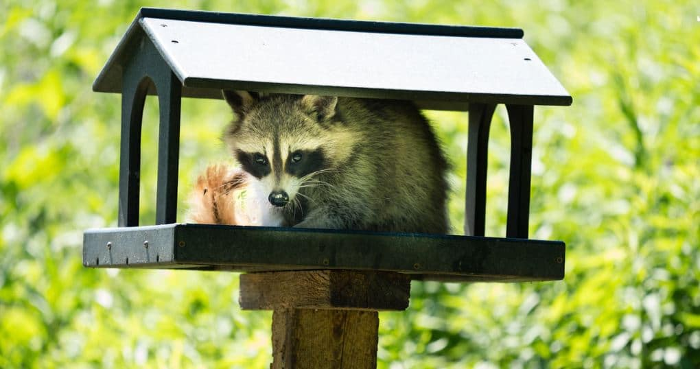 How Raccoons Can Damage Your Property | Halton Wildlife ...