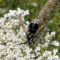 Bald Faced Hornet Pest