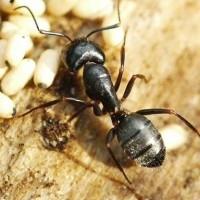 Carpenter Ant Pest