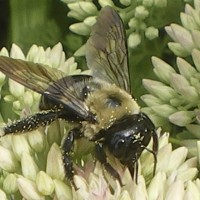 Carpenter Bee Pest