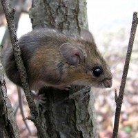 Deer Mouse Pest