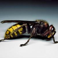 European Hornet Pest