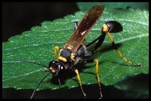 Mud Dauber Wasp Pest