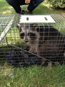 Raccoon Habits and Removal