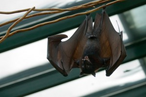 Bat Removal - How to get rid of bats