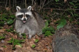 Raccoon Removal Burlington Oakville Ontario