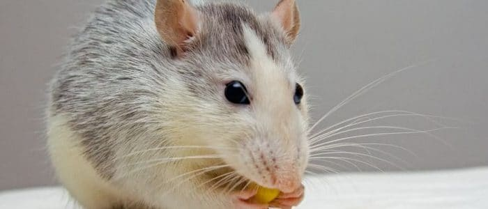 Rodent Control – What You Need to Know About Mice