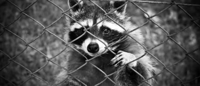 How to Raccoon Proof Your Home