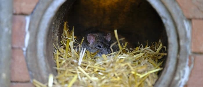 Rats in Halton? Yes, You Could Have a Rodent Problem