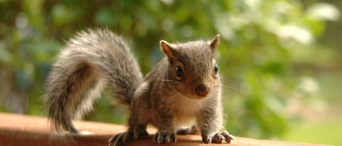 Squirrels and Their Babies – and Your Home!
