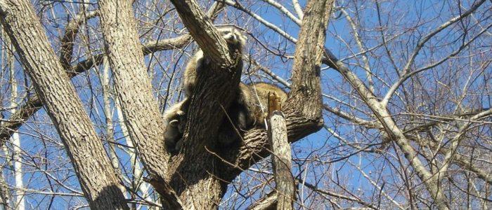 Raccoon Baby Season in Ontario – Prevention is Preparedness