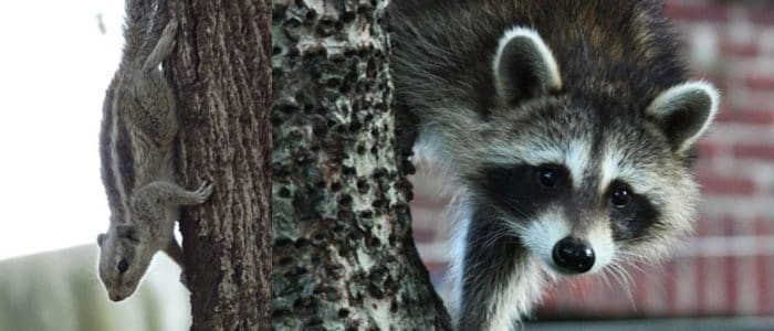 Squirrels & Raccoons are Spring's Biggest Pests