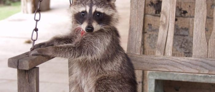 It's in Your Attic and it's Likely a Squirrel or Raccoon
