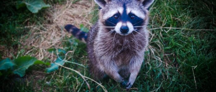 7 Ways to Prevent Raccoons from Entering Your Backyard