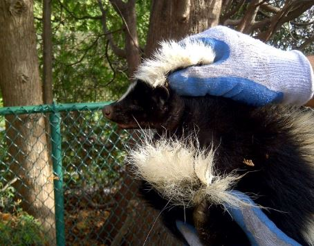 Skunk Catcher and Removal Services
