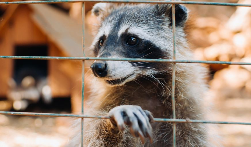 Prevent Animal Entry into Home - Raccoon